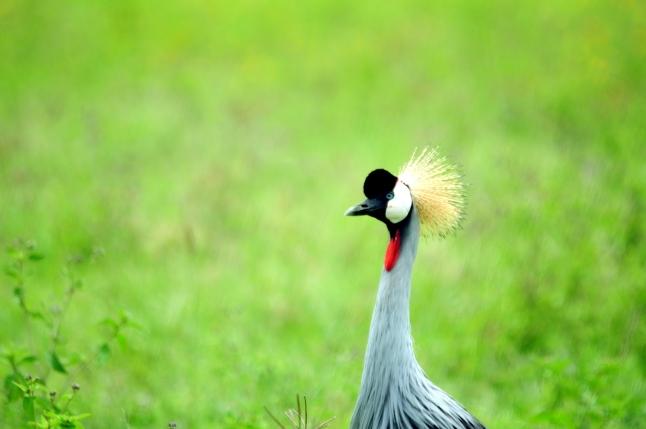 Grey Crown Crane