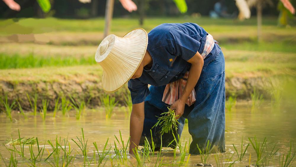 riceplanting